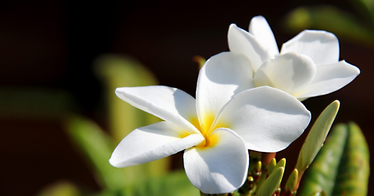 all about beautiful bali bali  frangipani flowers, Natural flower