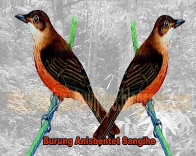12 Burung Cantik dan Langka di Pulau Sulawesi