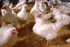 Μαύρα κοτόπουλα έχετε ξαναδεί; Και όμως υπάρχουν - Δείτε την «Lamborghini» των πουλερικών [photos]