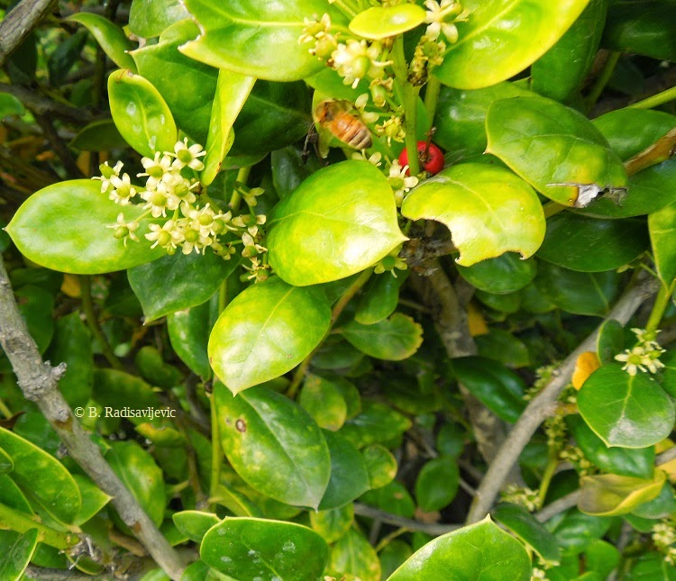 Bee on Holly in March,  © B. Radisavljevic