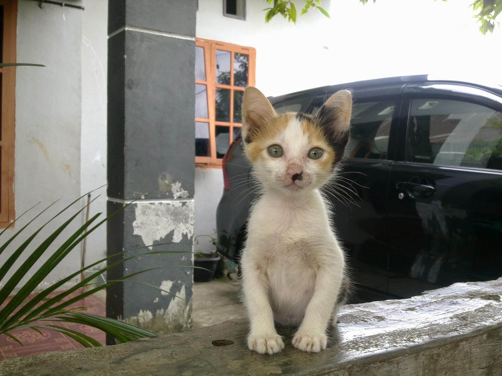 foto anak kucing domestik