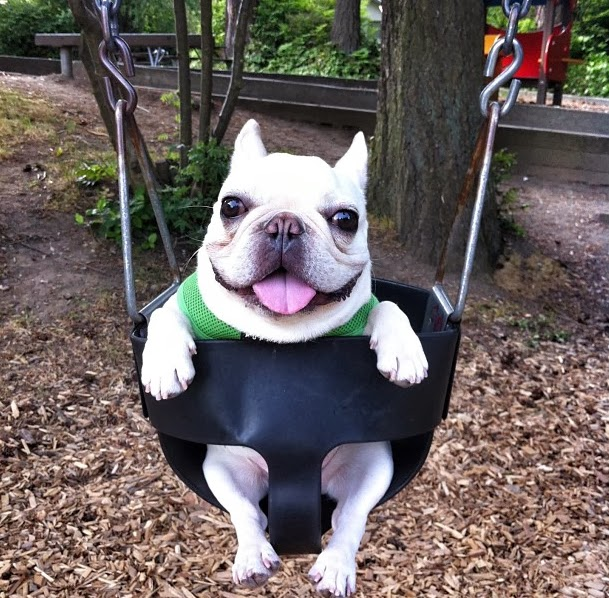 Cute Funny Animalz: Funny French Bulldog 2013 Latest