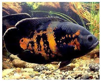 Ikan Oskar Yang Khas