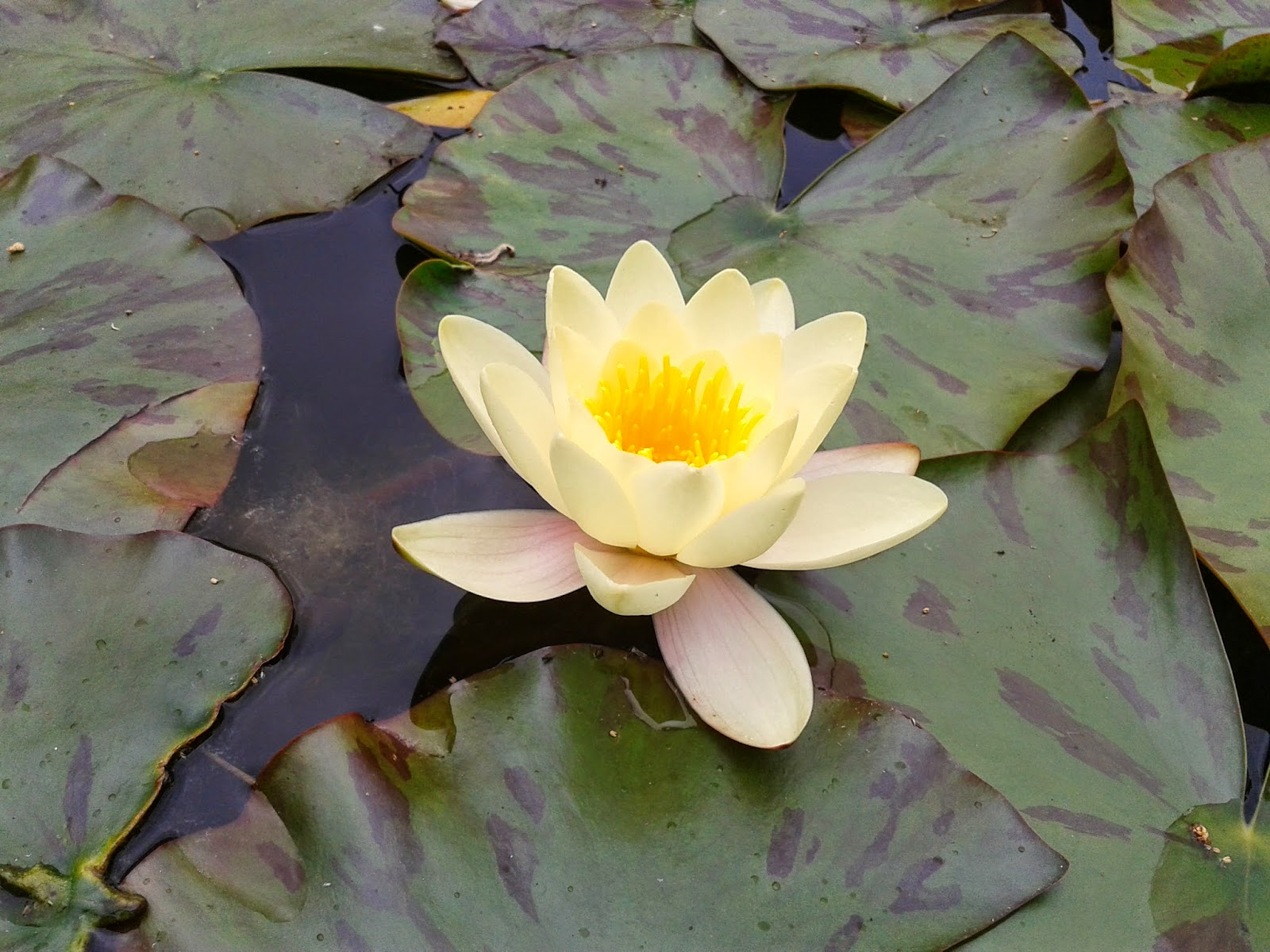 Water Lily at The Courts {National Trust} // 76sunflowers