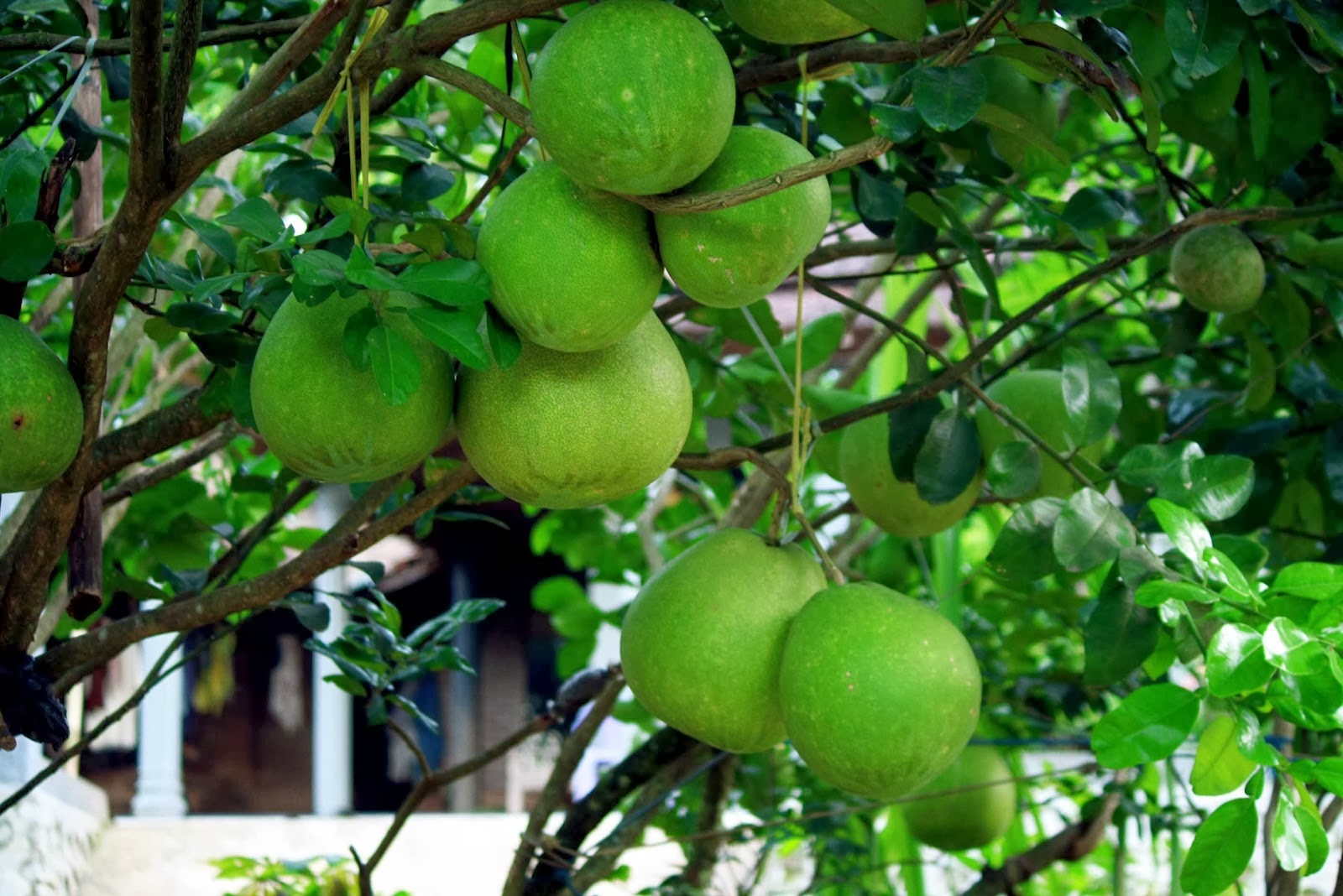 Pohon Buah Jeruk Cangkokan Jeruk Manis Sankis Bali