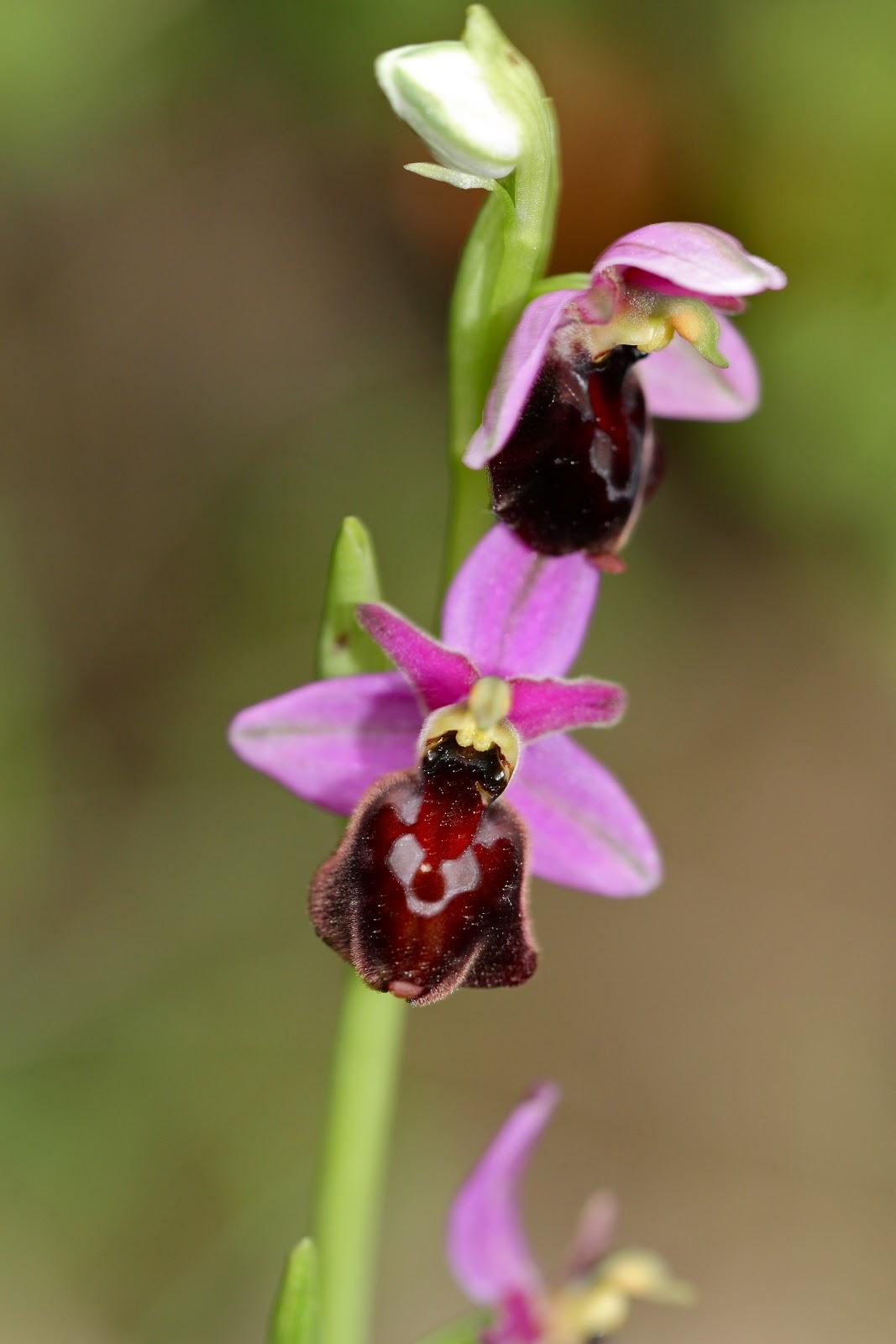 orchidee sauvage drome