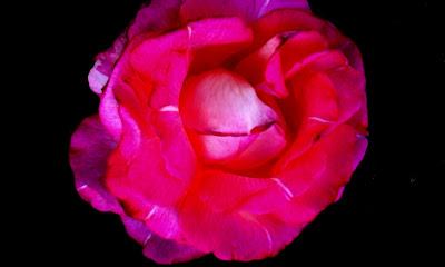 rosa als llavis