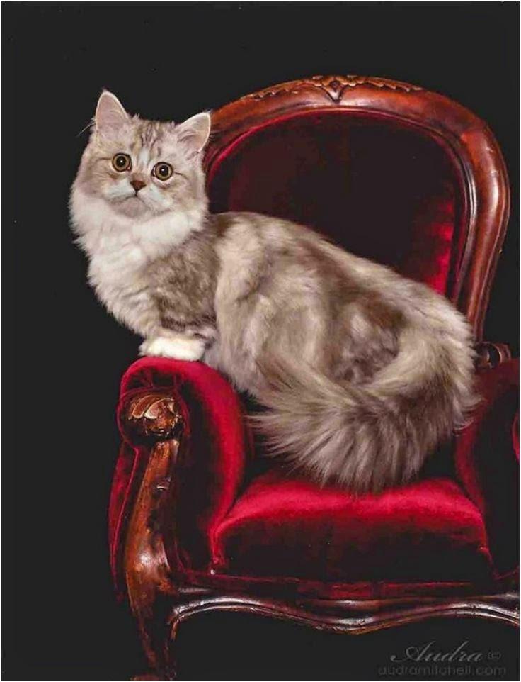 Top 5 Most Rare Cat Breeds