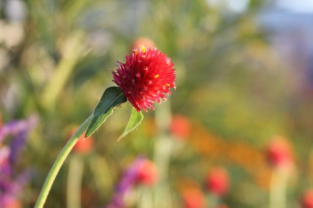 Strawberry Fields Gomphrena