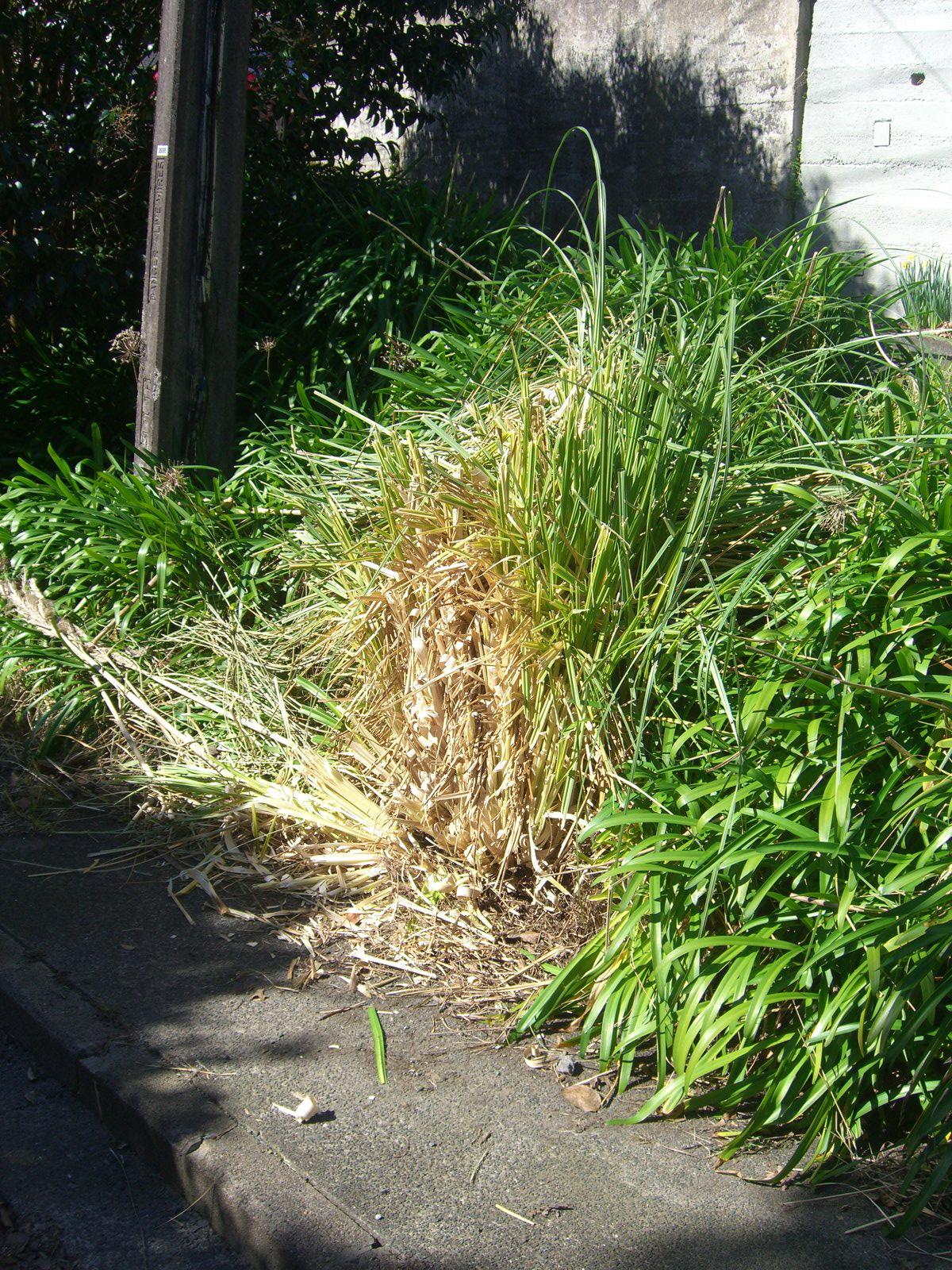 Dave S Garden Nz Toi Toi Bush Or Is It Pampas Grass