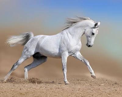 Hermoso caballo pura sangre en color blanco white horse