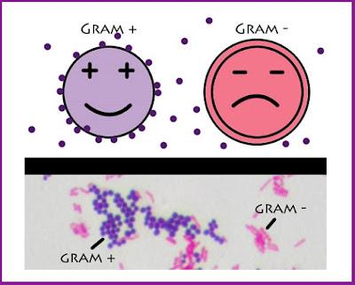 Gram+ e Gram- Medichesse