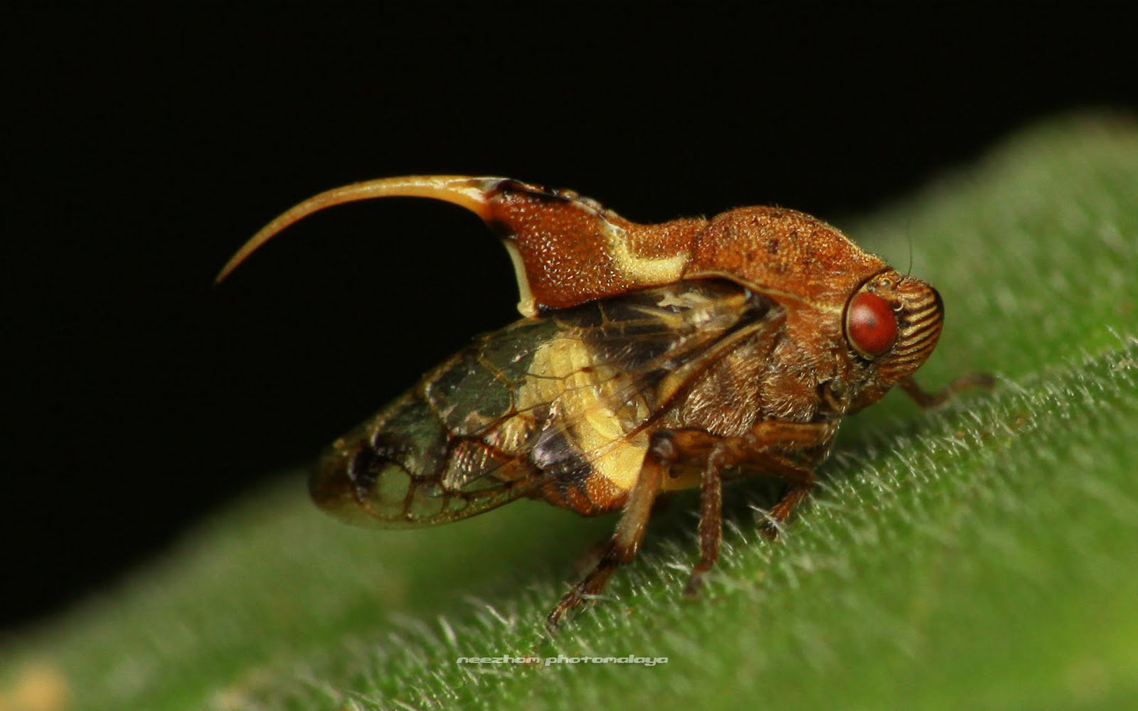 Treehopper with shark fin on the back