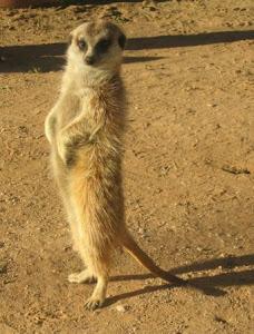 Eu Sou Uma Surikata - Kalahari