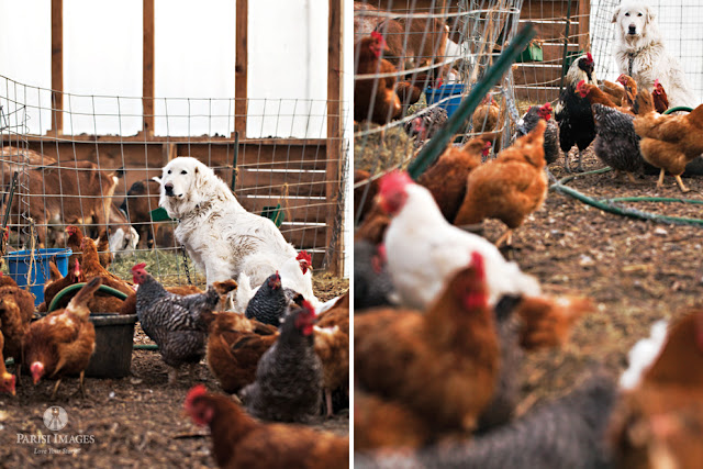 this beautiful life sarah parisi farm_dogs_watching_over_chickens