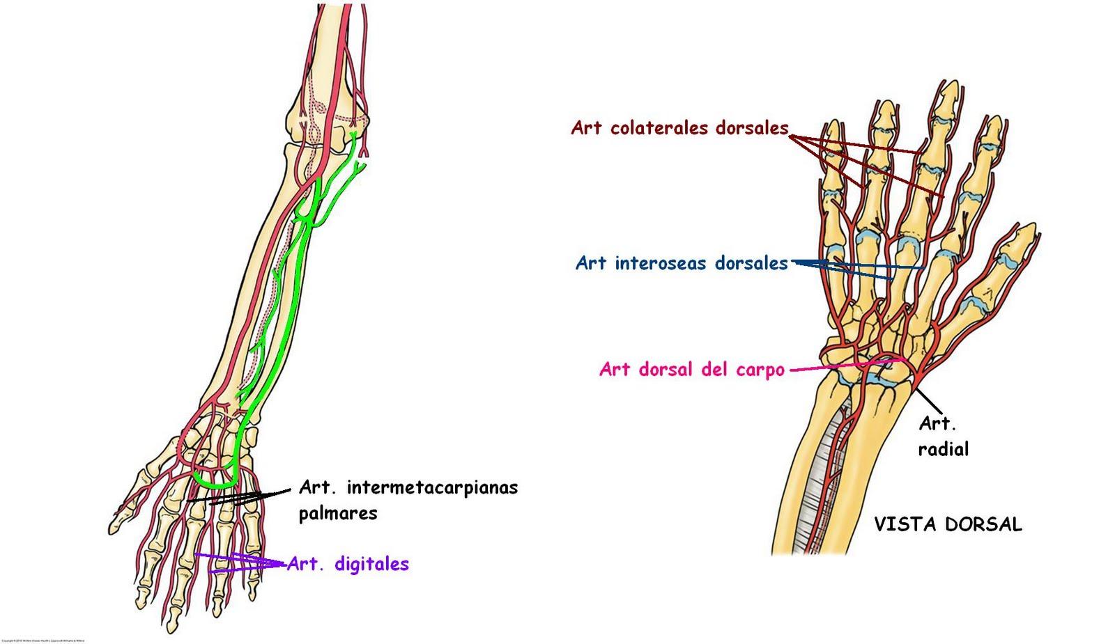 irrigacion anatomia: