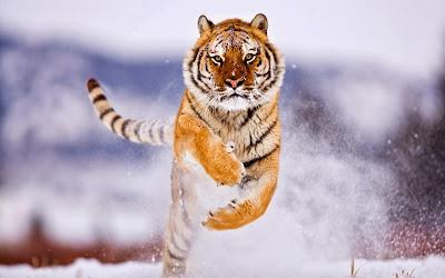 tigre+siberiana.jpg