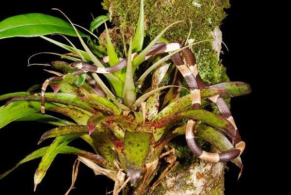 Species Name : Snake of mimicry (Sibon noalamina)