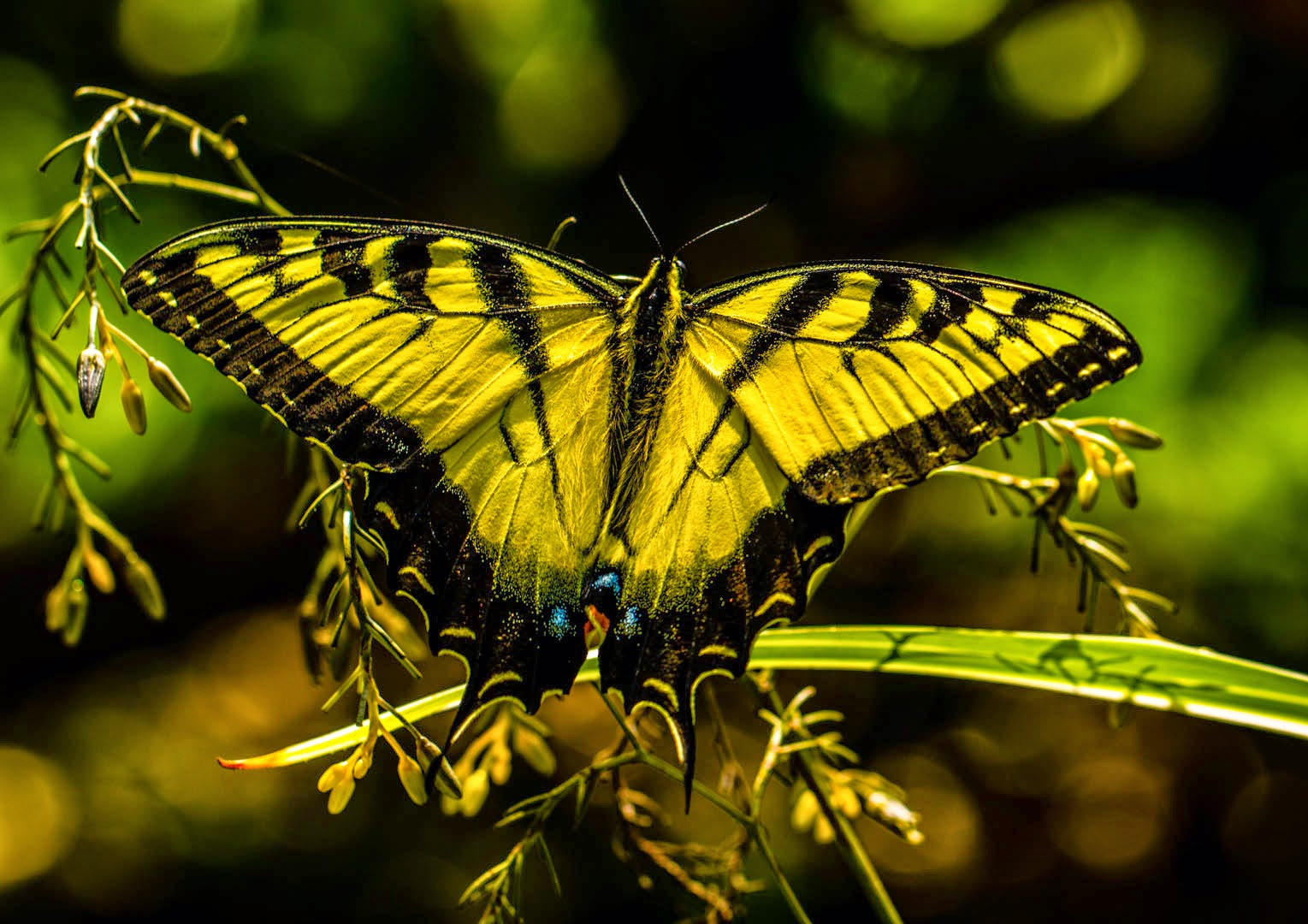 migration celebration  eastern swallowtails photographer roger k allen location lake jackson category wildlife of texas mid coast award first place