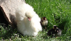 Snowball with her day-old Turken chicks