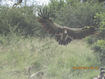 Vulture landing on impala carcass, near Olifants Camp, Kruger Nat'l Park, South Africa