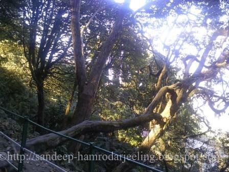 trees Darjeeling