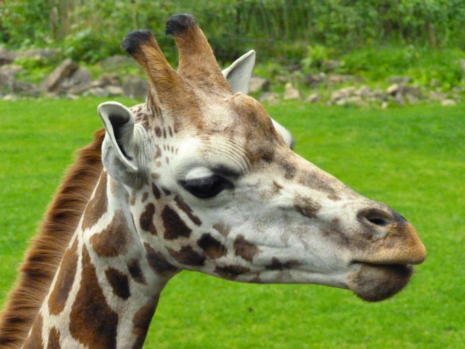 Giraffen können schöne Gesichter ziehen.