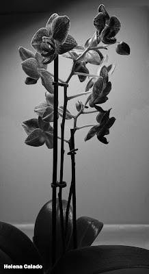 fotografia de uma orquidea a preto e branco