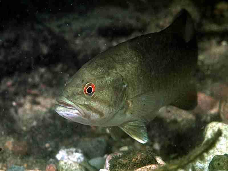 R Fisheries Fish R: Bass Fi...