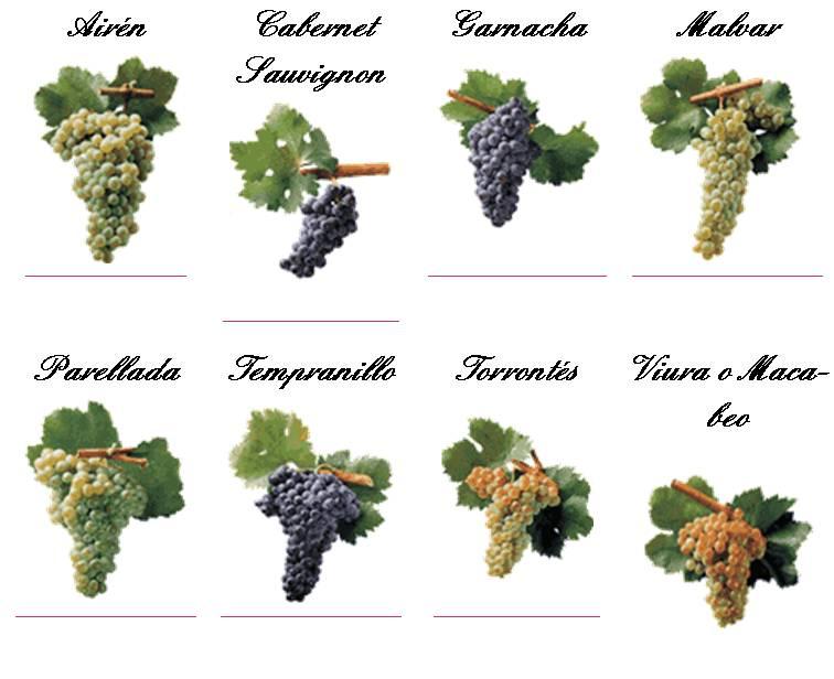 Bodega vi a bayona vinos de madrid - Variedades de uva de mesa ...