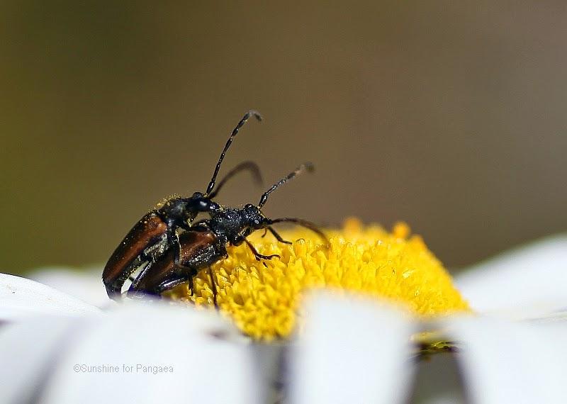 pair of longhorn beetles