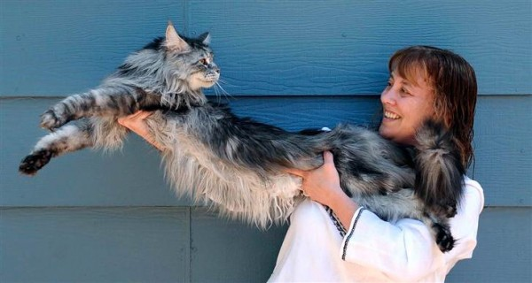 Kucing domestik terpanjang