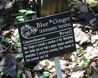 Blauer Ingwer
