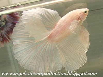 Beautiful Fish with Marriage Dress