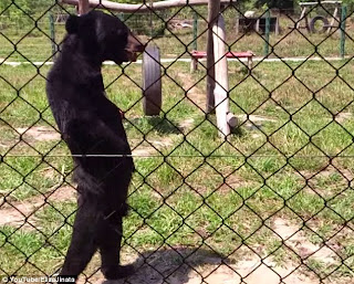 Bear can now stand due to malnutrition!