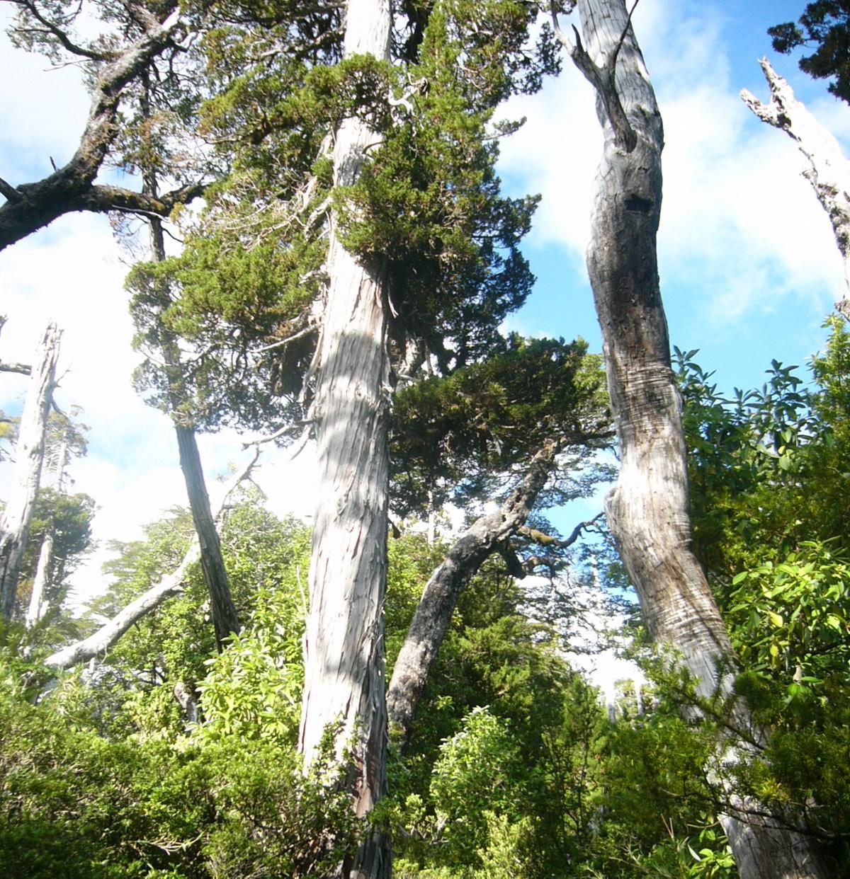Naturaleza de chile flora de la zona sur y austral for Poda de arboles zona sur