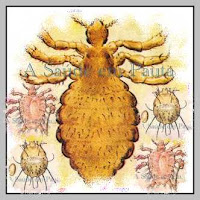 O chato no pubis, o muquirana no corpo e o piolho do couro cabeludo na cabeça causam ectoparasitose humana