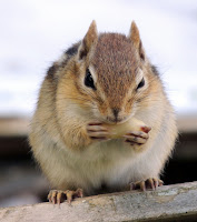 Chipmunk gnawing on nut