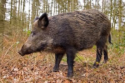 gambar babi hutan