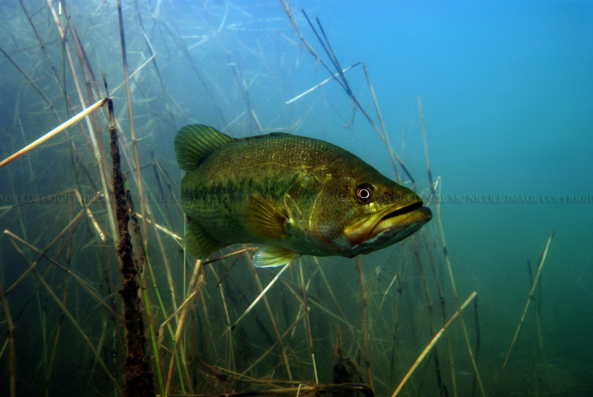 largemouth bass against a backdrop of reeds largemouth bass framed by    Largemouth Bass Pictures Underwater