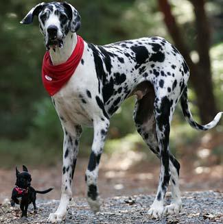Great Dane Big Dog