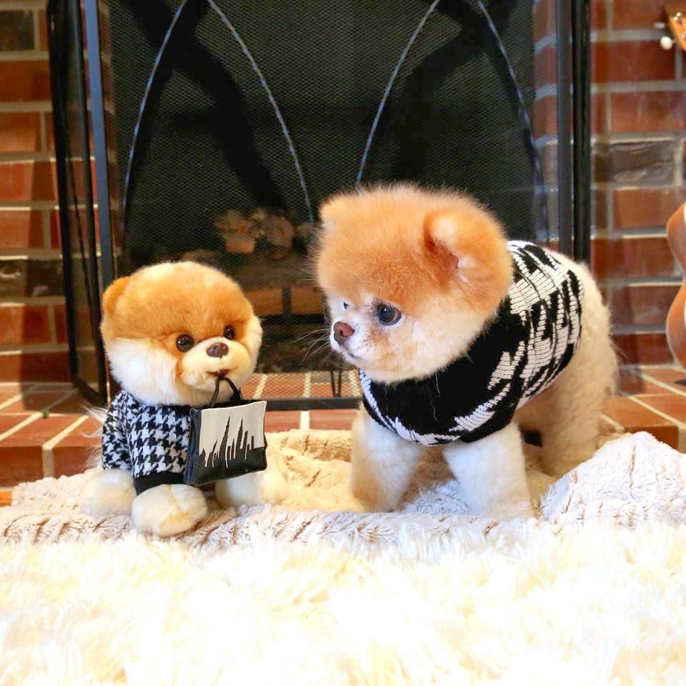 Bilder Zu Die Kleinste Hunderasse Der Welt