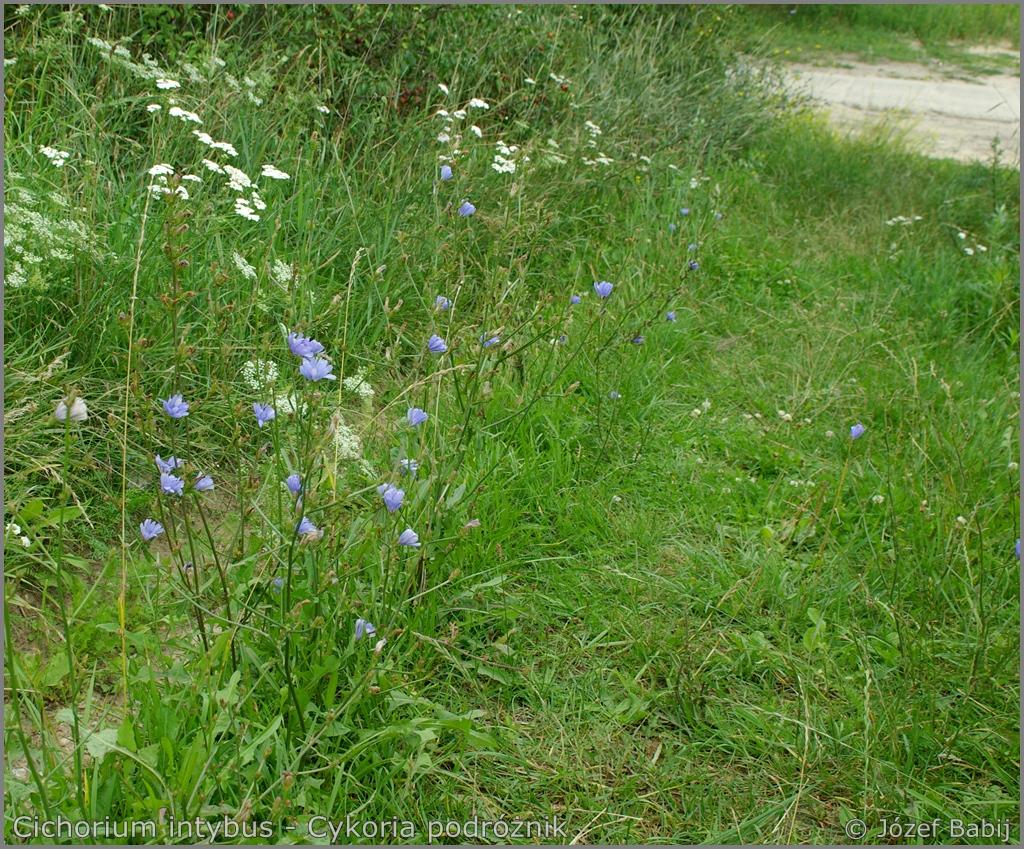 Cichorium intybus habitat    - Cykoria podróżnik  przykładowe środowisko występowania