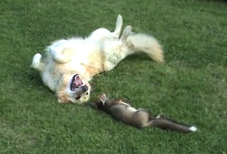 The real-life fox and hound: Dogs playing with orphaned fox cub (Video)