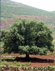 Oak Tree at Meydana in Kurd-Dagh