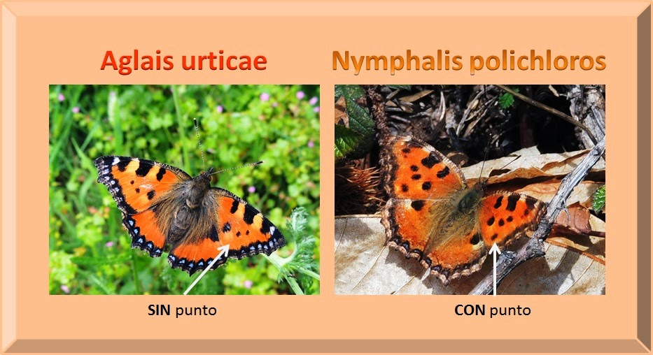 Diferencias entre Nymphalis polychloros y Aglais urticae