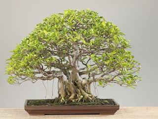 Ficus Bonsai Tree Care