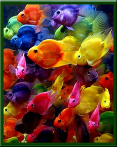 Sumergidos criadero artesanal bloody parrot for Criadero de peces de colores