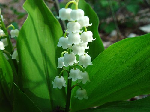 lilly of t.v.