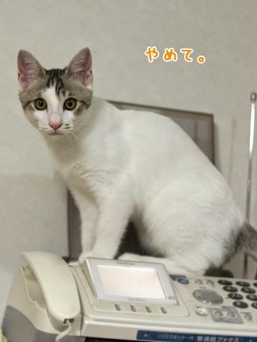 電話を阻止する猫